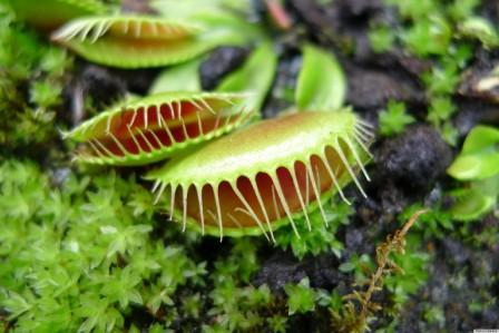 fly trap by plants