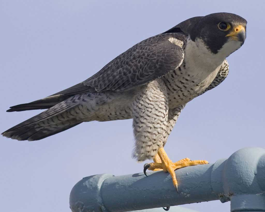 Peregrine Falcon near distinct due to mosquitoes